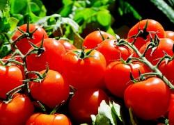 Prize Winning Tomatoes